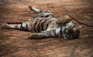 Un tigre de Thaïlande qui appartient aux moines d'un temple très touristique dans la province de Kanchanaburi, à l'ouest du pays, le 24 avril 2015