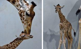 Un girafon mâle d'un mètre soixante-trois est né mercredi au Parc zoologique de Paris.