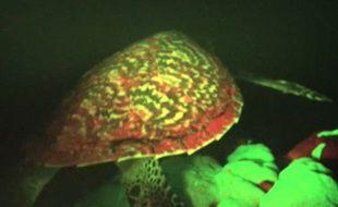 Une tortue rouge et verte fluorescente a été découverte dans le Pacifique.