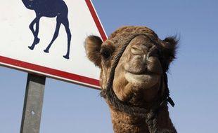 Aux Emirats arabes Unis les chameaux ont la priorité