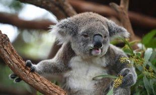Un koala le 28 avril 2016 dans la localité côtière de Port-Macquarie en Australie
