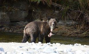 Un grizzli (illustration).