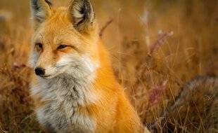 Il fallait bien choisir un animal pour illustrer ce papier, et nous avons opté pour un renard, hommage à Rox & Rouky