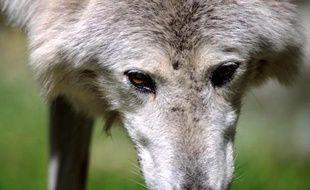 Les éleveurs de Lozère élèvent la voix depuis plusieurs semaines contre la présence du loup.