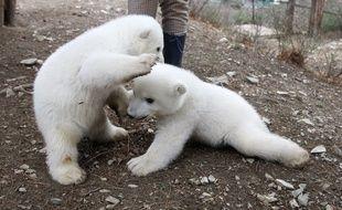 Des oursons polaires jouent dans un parc zoologique, dans la région de Krasnodar, en Russie.