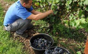 Une jeune personne participe à la cueillette des raisins.