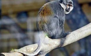 La jeune femelle cercopithèque a retrouvé sa mère et le zoo du parc de la Tête d'Or ce week-end.
