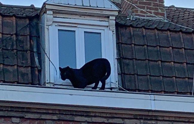 Nord: Une panthère noire en balade sur les toits d'Armentières