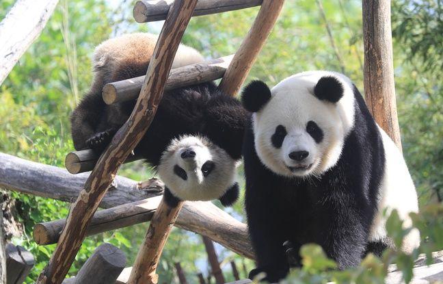 Le bébé panda de Pairi Daiza, Tian Bao, en compagnie de sa mère Hao Hao, à l'été 2017.