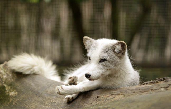 Le renard polaire mâle du zoo de Lille.
