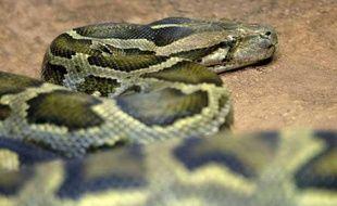 Le python capturé est long de 5,2 mètres (illustration).