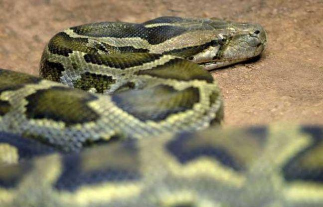 Illustration: Un python.