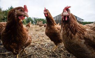 Dans un élevage de poules. Illustration.