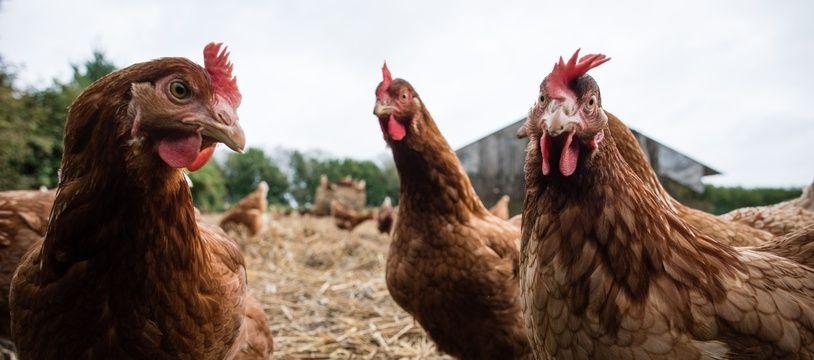 Illustration d'un élevage de poules.