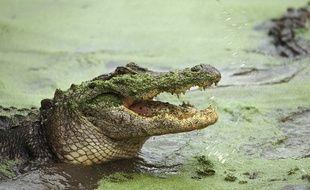 Un alligator. Illustration.