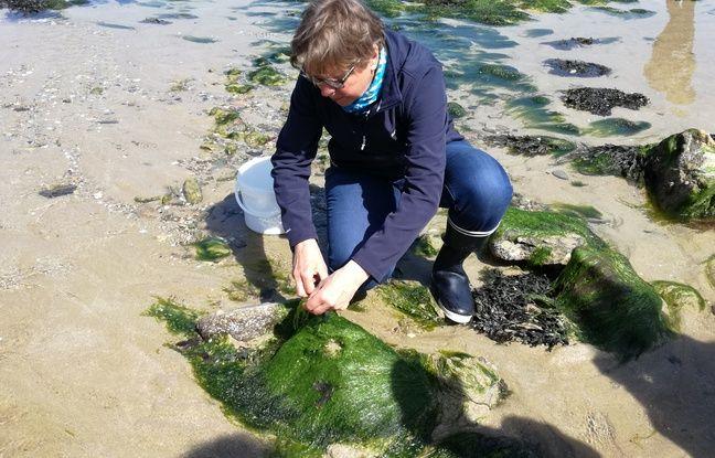 Régine Quéva rappelle une précaution indispensable : en vue d'une consommation alimentaire, ne cueillir que les algues fixées sur les rochers.