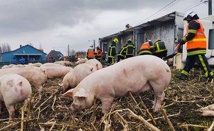 Les pompiers du Nord s'affairent à sauver les cochons.