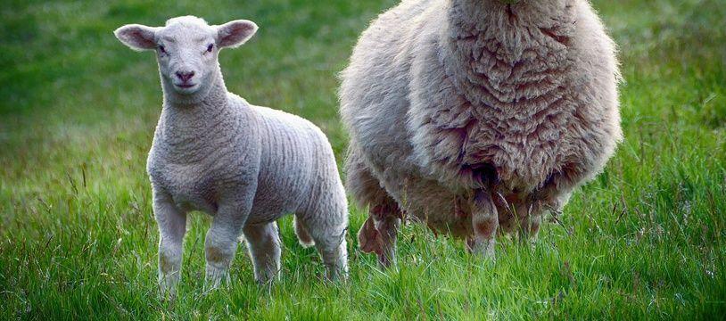 Un mouton (image d'illustration).