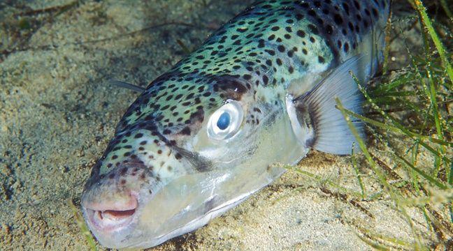 Espèce invasive et toxique, le « poisson-lièvre » prospère en Méditerranée