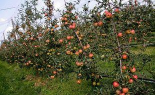 Un verger de pommes.