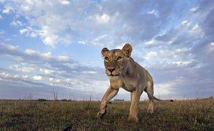 Une lionne dans le Masai Mara, au Kenya.