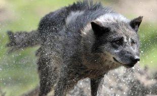 Photo d'archive d'un loup dans mle parc de Sainte-Croix, dans l'est de la France