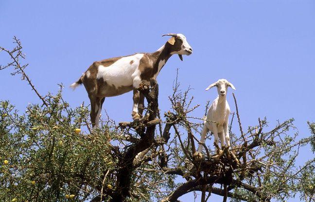 Les chèvres ravagent les jardins de Blackball (illustration).