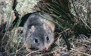 Photo d'un  Antechinus, l'une des espèces de marsupiaux qui a un taux de mortalité post-coït important, d'après une étude de l'université du Queensland publiée le 8 octobre 2013.