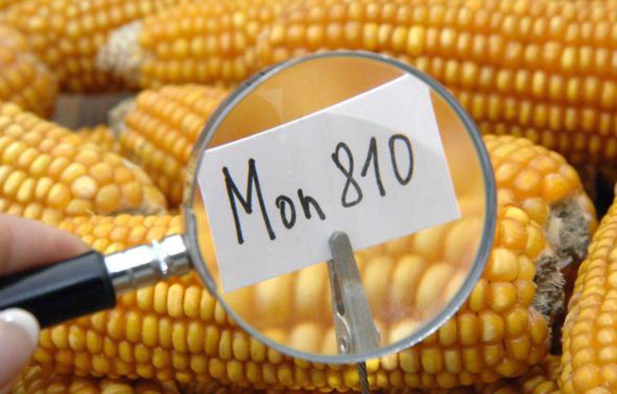 Maïs génétiquement modifié OGM de Monsanto Mon 810. – F.DURAND/SIPA