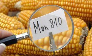 Maïs génétiquement modifié OGM de Monsanto Mon 810.