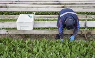 Un travailleur agricole lors du ramassage du muguet.