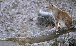 Peut-on relâcher dans la nature un lynx recueilli dans un centre de soins de faune sauvage? Une consultation publique organisée en Franche-Comté a approuvé la démarche, qui attend désormais un ultime arbitrage des services de l'Etat.