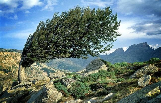 Symbole du GR20, le hêtre penché du col Saint-Pierre laisse imaginer la puissance des vents qui balaient les hauteurs corses.