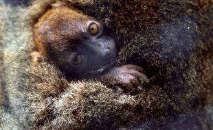 """Un bébé lémurien, de l'espèce """"grand hapalémur"""", une espèce rare et classée en danger critique d'extinction."""