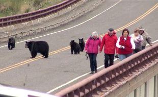 Des touristes poursuivis par des ours bruns dans le parc naturel de Yellowstone aux Etats-Unis.