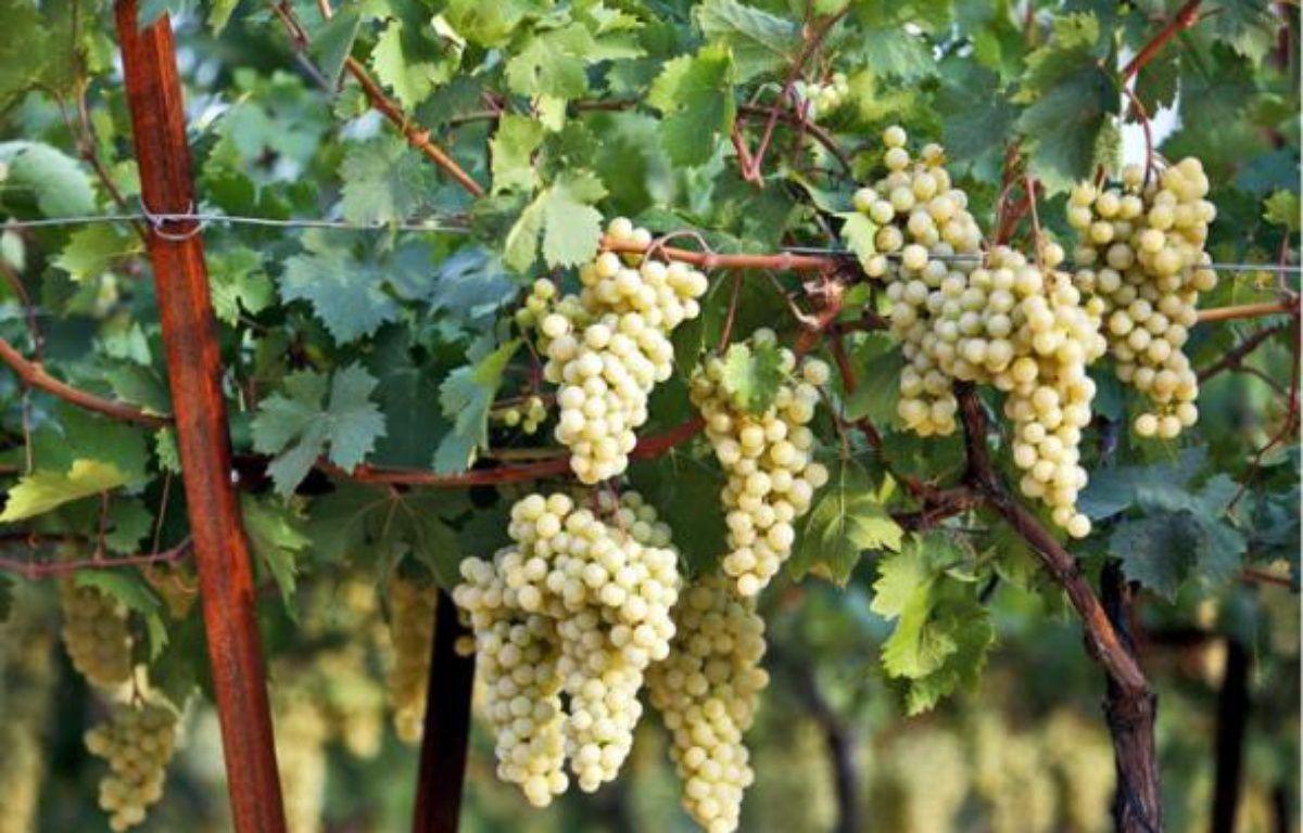 Les travaux de l'Inra visent à lutter contre le court-noué, un virus attaquant la vigne. –  G. varela / 20 Minutes