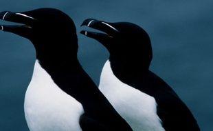 Des pingouins torda.