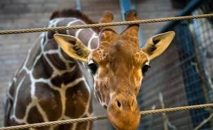 Les internautes danois se montraient agacés lundi sur Twitter par la vague d'indignation mondiale ayant suivi l'euthanasie d'un girafon au zoo de Copenhague pour des raisons génétiques.