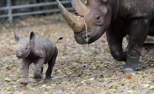 Un bébé rhinocéros court aux côtés de sa maman Kumi dans son enclos du zoo de Berlin le 24 octobre 2014.