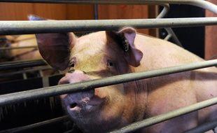 Un porc dans une exploitation de Loon-Plage (Nord), le 17 août 2015.