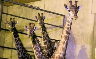 Les girafes du parc devraient prolonger leur hibernation au chaud encore quelques jours.