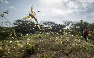 Des criquets faisant partie d'un immense essaim, capturés ici au Kenya début février 2020.