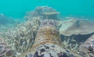 Capture d'écran d'une vidéo du WWF Australia, montrant la Grande barrière de corail vue depuis le dos d'une tortue.