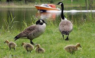 L'oie bernache du Canada (Branta canadensis) pourra être chassée en France à partir d'août 2012, et pendant 2 ans et demi, afin de réduire le nombre de ces oiseaux exotiques devenus trop envahissants, a annoncé jeudi le ministère de l'Ecologie.