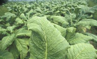 Illustration d'une plantation de tabac.