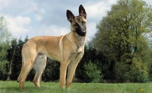 Un berger belge Malinois. Illustration.