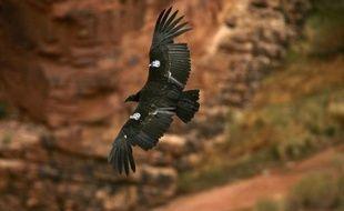 Les efforts pour sauver le condor de Californie, le plus grand oiseau d'Amérique du Nord, sont menacés par le plomb de chasse ingéré par ces charognards qui se nourrissent de cadavres de cervidés tués par les chasseurs, affirme une étude publiée lundi.