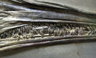 Mâchoire d'un spécimen d'ichtyosaure.