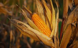 Le maïs est la céréale la plus cultivée dans le monde avant le riz et le blé