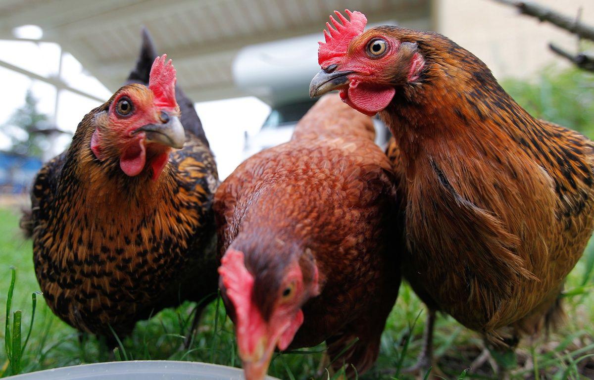 Illustration de poules. CYRIL VILLEMAIN/20 MINUTES – C. VILLEMAIN/20 MINUTES